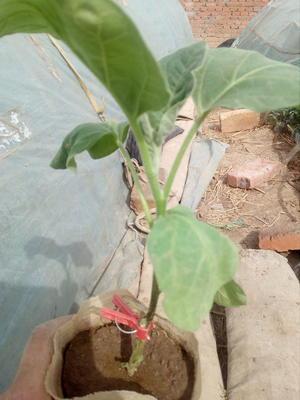 这是一张关于茄子苗的产品图片