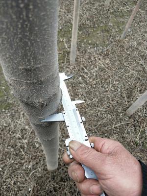 新疆维吾尔自治区石河子市石河子市小叶白蜡树 2.5~3米