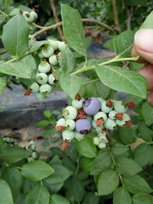 山东省泰安市岱岳区莱克西蓝莓苗