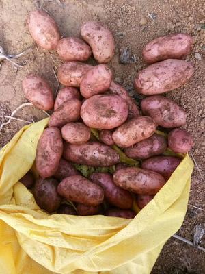 云南省红河哈尼族彝族自治州个旧市青薯88号 3两以上