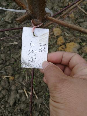 浙江省温州市瑞安市水蜜桃 70mm以上 4两以上