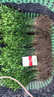 这是一张关于枳壳苗 种子 0.2米以下的产品图片
