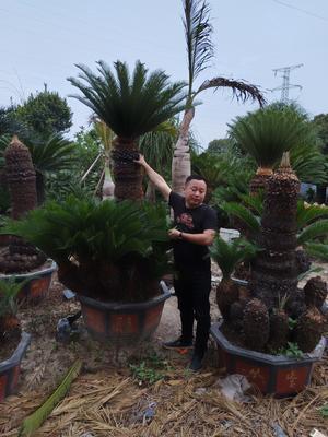 福建省漳州市龙海市多头铁树