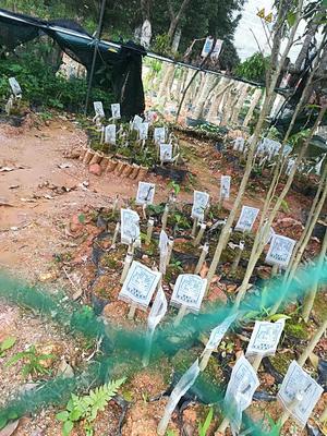 广西壮族自治区钦州市灵山县奇楠沉香树