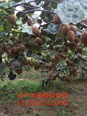 陕西省西安市周至县海沃德猕猴桃 80~100克
