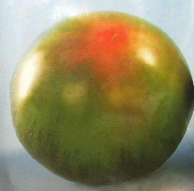 山东省烟台市海阳市水果西红柿 不打冷 硬黄 弧二以上