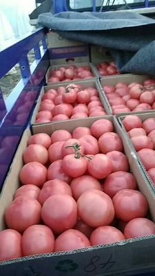 安徽省蚌埠市怀远县金鹏西红柿 不打冷 硬粉 弧三以上