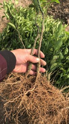 这是一张关于春见柑桔苗 嫁接苗 0.5~1米的产品图片