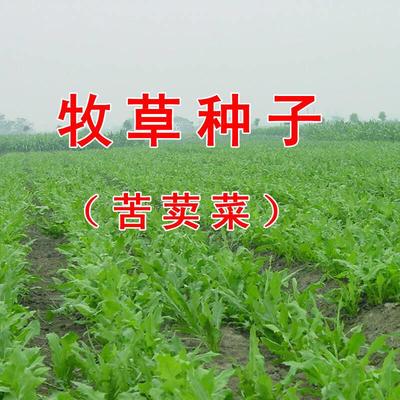 山东省菏泽市郓城县苦苣种子 苦荬菜小鹅菜