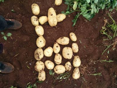 云南省红河哈尼族彝族自治州开远市丽薯6号 3两以上