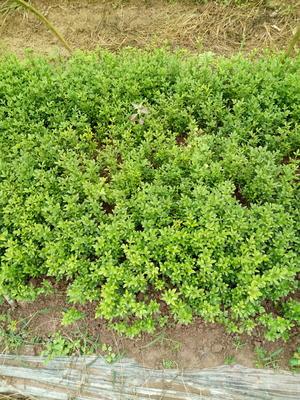 这是一张关于酸柑苗 种子 0.2米以下的产品图片