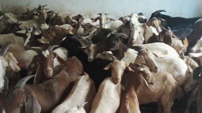广东省深圳市宝安区山羊 30斤以下