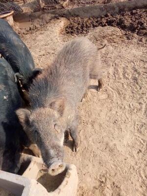 河北省沧州市泊头市生态野猪 160-200斤 统货