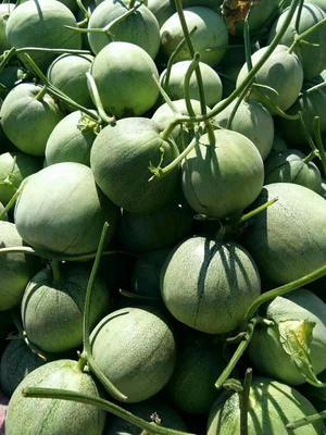 这是一张关于绿宝甜瓜 0.3斤以上的产品图片