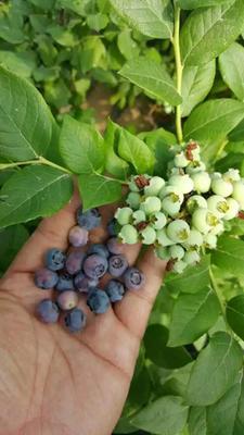 山东省泰安市岱岳区组培蓝莓苗