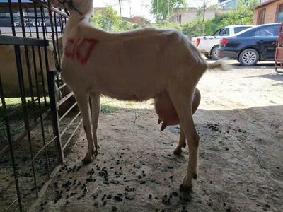 陕西省渭南市富平县奶山羊 110-140斤