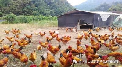 这是一张关于青脚麻鸡 统货 3-4斤的产品图片