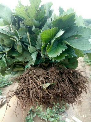 山东省泰安市岱岳区法兰地草莓苗 地栽苗 10~20公分