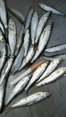这是一张关于餐鲦鱼 野生 0.5龙8国际官网官方网站以下的产品图片