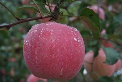 这是一张关于红富士苹果 纸+膜袋 片红 80mm以上的产品图片