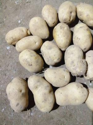 河北省张家口市万全县荷兰15号土豆 3两以上