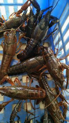 这是一张关于中国龙虾 国产 0.4-0.6斤/只的产品图片