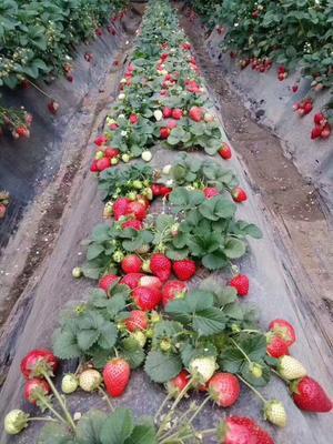 山东省泰安市岱岳区红颜草莓苗 地栽苗 20~30公分
