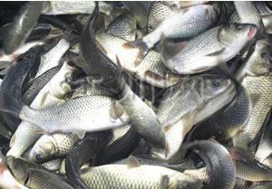 这是一张关于网箱草鱼 人工养殖 0.25-1龙8国际官网官方网站的产品图片