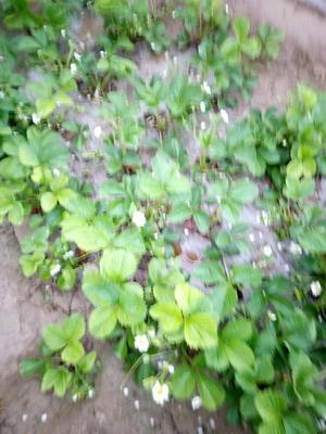 山东省潍坊市寒亭区美十三草莓 20克以上