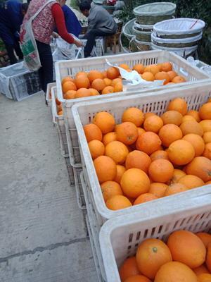 四川省眉山市东坡区丹棱脐橙 55 - 60mm 4两以下
