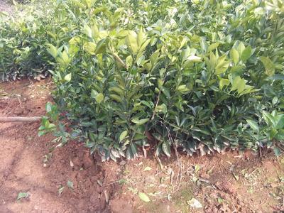 这是一张关于伦晚脐橙苗 嫁接苗 0.35~0.5米的产品图片