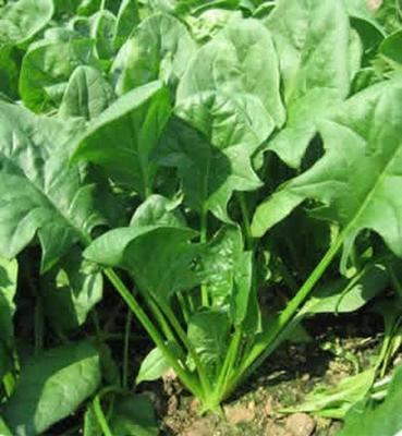 甘肃省酒泉市肃州区圆叶菠菜 40cm以上
