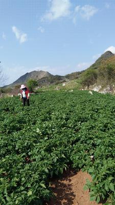 云南省红河哈尼族彝族自治州蒙自市合作88号土豆 统货