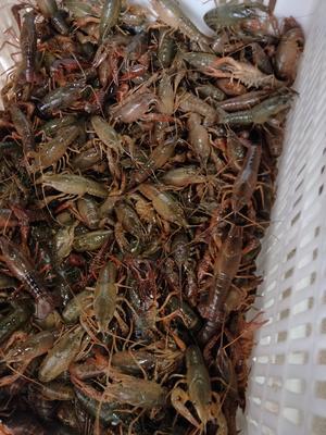 这是一张关于荆州小龙虾 稻田虾 4-6钱的产品图片