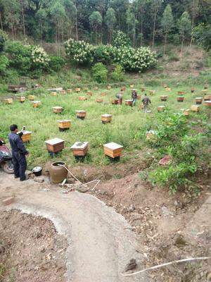 这是一张关于土蜂蜜 桶装 90%以上 2年的产品图片