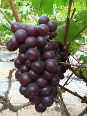河北省邢台市柏乡县红无核葡萄 5%以下 1次果 1-1.5斤