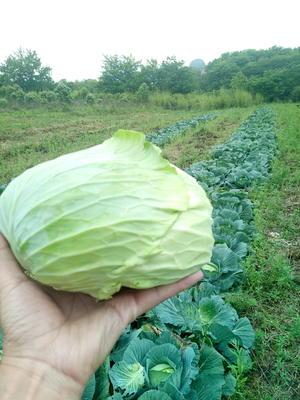 广西壮族自治区桂林市象山区铁头包菜 1.5~2.0斤