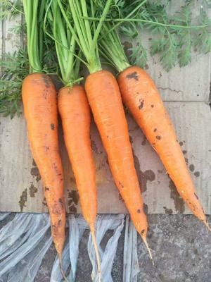 这是一张关于三红七寸参胡萝卜 15cm以上 2两以上 4~5cm的产品图片