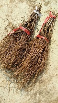 这是一张关于魏可葡萄苗的产品图片