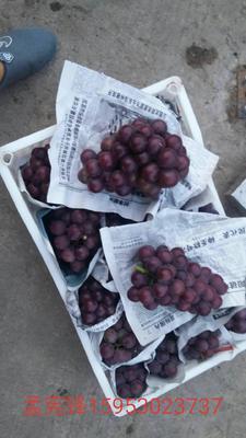 山东省菏泽市单县夏黑葡萄 5%以下 1次果 1.5- 2斤