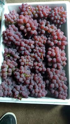 河北省唐山市乐亭县茉莉香葡萄 5%以下 1次果 0.6-0.8斤