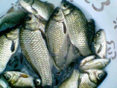 上海崇明县北美青鱼 人工养殖 0.5-2.5公斤