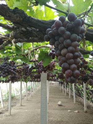 江西省鹰潭市贵溪市维多利亚葡萄 5%以下 1次果 1.5- 2斤