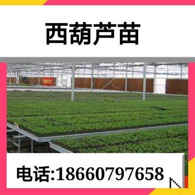 山东省济南市济阳县西葫芦种子