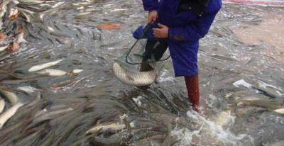 这是一张关于池塘草鱼 人工养殖 0.25-1龙8国际官网官方网站的产品图片