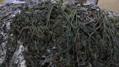 这是一张关于腌制香椿芽 露天种植 箱装 一级的产品图片