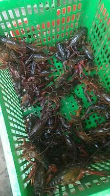 这是一张关于克氏螯虾 国产 0.4-0.6斤/只的产品图片