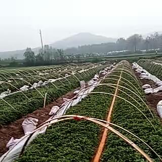 这是一张关于商薯19红薯苗 15~25cm的产品图片