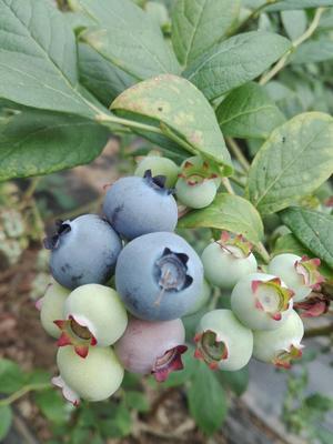 辽宁省大连市普兰店市北陆蓝莓 鲜果 12 - 14mm以上