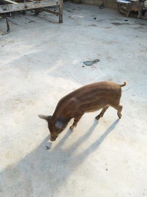 这是一张关于特种野猪 20-30斤 公的产品图片